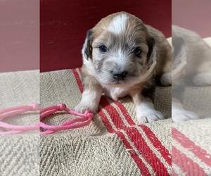 Australian Shepherd-Poodle (Miniature) Mix Puppy for sale in TWIN FALLS, ID, USA