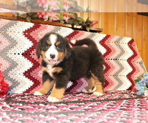 Medium Bernese Mountain Dog