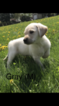Labrador Retriever Puppy For Sale in MOUNT HOREB, WI, USA