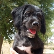 Beagle-Poodle (Toy) Mix Puppy For Sale in CEDAR CITY, UT, USA