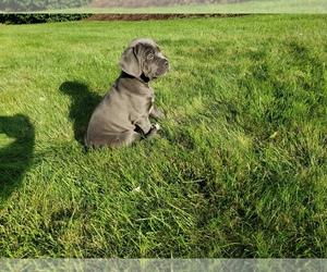 Cane Corso Puppy for sale in PHILLIPSTON, MA, USA