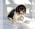 Puppy 4 English Springer Spaniel