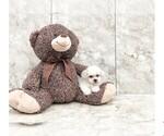 Zen The Teddy Bear Puppy