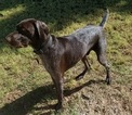 German Shorthaired Pointer Puppy For Sale in MESA, AZ,