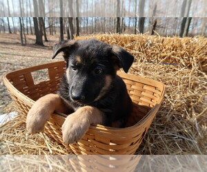 German Shepherd Dog Puppy for sale in INDIANAPOLIS, IN, USA
