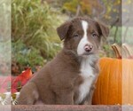 Small #4 Collie