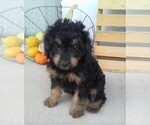 Small Cavapoo-Poodle (Miniature) Mix