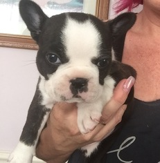 Faux Frenchbo Bulldog Puppy For Sale in VALPARAISO, IN