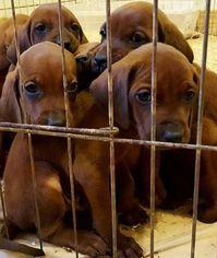 Redbone Coonhound Puppy For Sale in COLORADO SPRINGS, CO