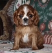 Cavalier King Charles Spaniel Puppy For Sale in HOUGHTON, IA, USA