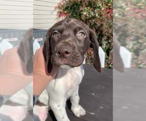 German Shorthaired Pointer Puppy for Sale in LOCUST GROVE, Virginia USA