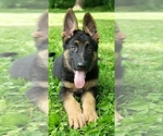 Female purebred German Shepherd puppy