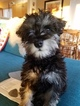 Schnauzer (Miniature) Puppy For Sale in ANACORTES, WA, USA