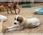Small #11 Anatolian Shepherd-Maremma Sheepdog Mix