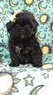 Peke-A-Poo Puppy For Sale in LANCASTER, PA, USA