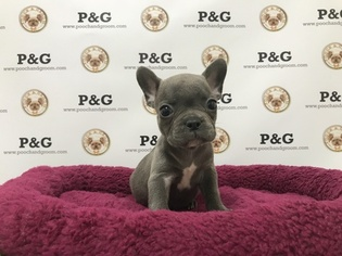 French Bulldog Puppy For Sale in TEMPLE CITY, CA