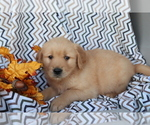 Small #1 Golden Retriever