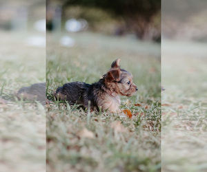 Yorkshire Terrier Puppy for Sale in FOREST HILL, Texas USA