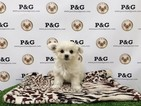 Shiranian Puppy For Sale in TEMPLE CITY, CA, USA