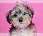 Puppy 2 Morkie