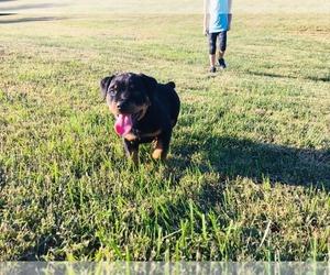 Rottweiler Puppy for Sale in CALIFORNIA, Missouri USA