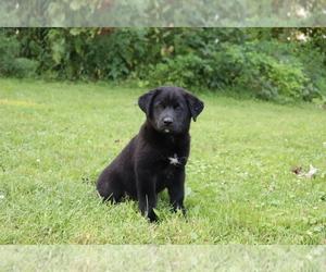 Labrador Retriever-Siberian Husky Mix Puppy for sale in SHILOH, OH, USA