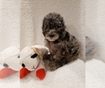 Small #6 Goldendoodle-Sheepadoodle Mix