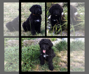 Bernedoodle Dog for Adoption in Duncan, British Columbia Canada