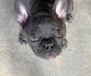 French Bulldog Puppy for sale in AURORA, CO, USA