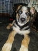 German Shepherd Dog Puppy For Sale in PERU, IN, USA