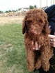 Poodle (Standard) Puppy For Sale in GODLEY, Texas,