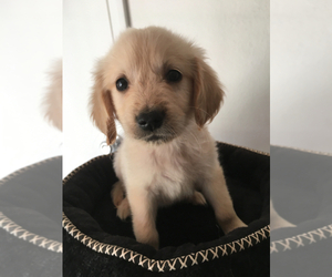 Golden Retriever Puppy for Sale in FRANKLIN, North Carolina USA