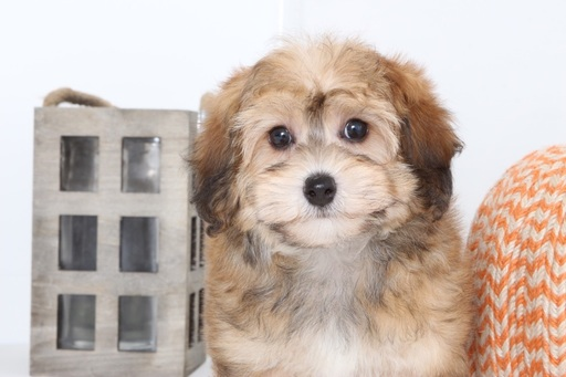 View Ad: Havanese-Poodle (Standard) Mix Puppy for Sale ...
