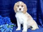 Cocker Spaniel Puppy For Sale in MOUNT JOY, Pennsylvania,