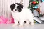 Papichon Puppy For Sale in MOUNT VERNON, OH, USA