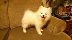Female Mini Eskimo pup 12 weeks