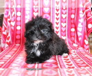 ShihPoo Puppy for sale in SHILOH, OH, USA