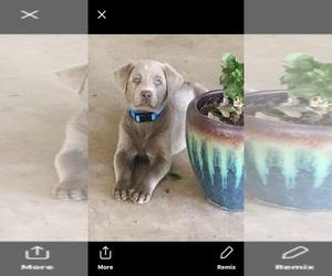 Labrador Retriever Puppy for sale in DEVINE, TX, USA