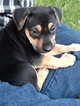 Belgian Malinois-Unknown Mix Puppy For Sale in SYCAMORE, IL, USA