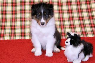 Shetland Sheepdog Puppy For Sale in JACKSONVILLE, FL, USA
