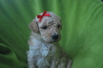 Labradoodle Puppy For Sale in ALPINE, UT, USA