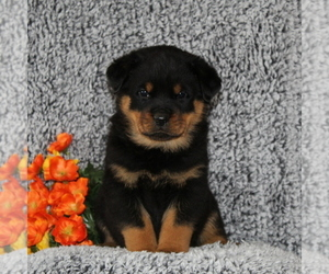 Rottweiler Puppy for sale in COCHRANVILLE, PA, USA