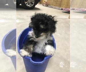 Maltipoo Puppies for Sale near Moulton, Alabama, USA, Page 1
