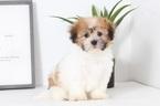 Zuchon Puppy For Sale in NAPLES, Florida,
