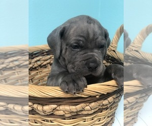 Cane Corso Puppy for Sale in AMARILLO, Texas USA