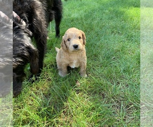 Labradoodle Puppy for Sale in EPHRATA, Pennsylvania USA