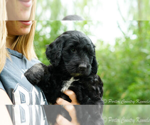 Goldendoodle-Poodle (Miniature) Mix Puppy for Sale in KARLSTAD, Minnesota USA