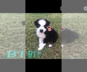 Australian Shepherd Puppy for sale in MACDONA, TX, USA