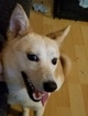 Shiba Inu Puppy For Sale in LAND O LAKES, FL, USA