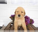 Small #5 Golden Retriever